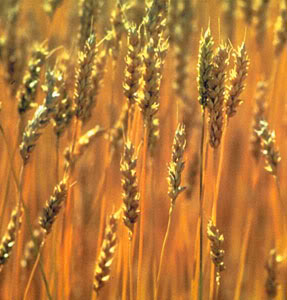 PLEASE READ!!! The Threat of CSIRO's GM Wheat Revealed at Press Conference