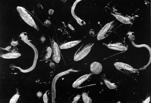 plankton 1 300x205 Compare the Pros and Cons on Iron Fertilization of the Oceans
