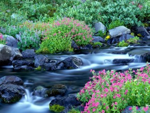 Paradise_River_Surrounded_by_Spring_Flowers_Mt__Rainier_National_Park_Washington150x150