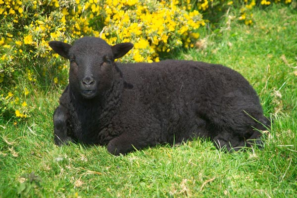 Whole Light Beings: Revel in Being the Black Sheep