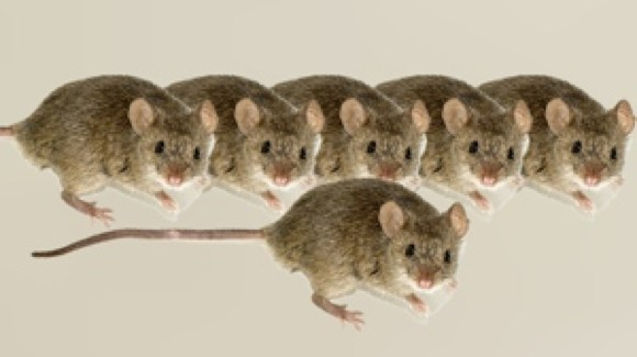 SCIENTISTS INJECT HUMAN BRAIN CELLS INTO MICE, MAKE THEM SMARTER