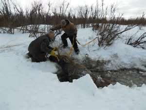 Russian Folks Save A Moose That Fell In The Water