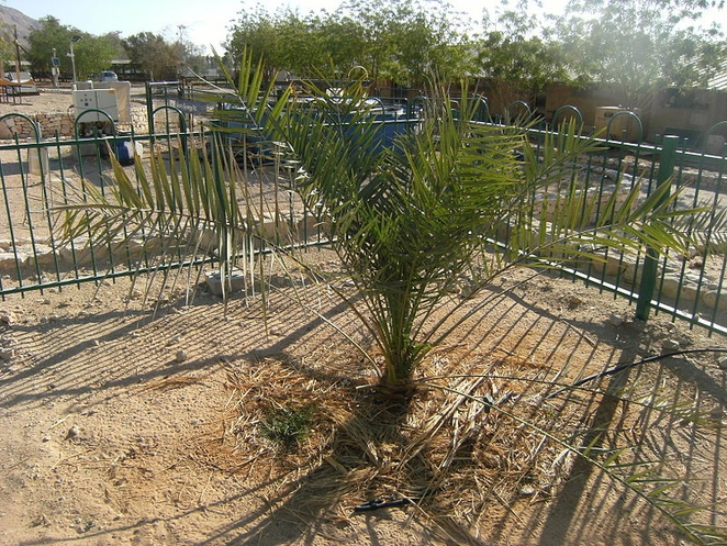 Extinct tree grows anew from ancient jar of seeds unearthed by archaeologists