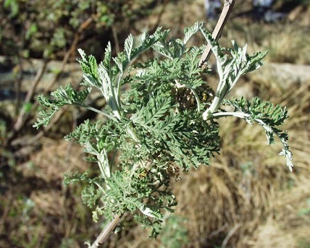 Little Known Chinese Herb & Iron Kill 98% Of Cancer Cells In 16 Hours