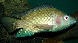 DO NOT EAT TILAPIA