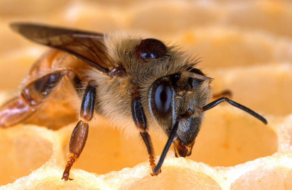 Bee Expert: USDA Punished Me For Research On Pesticides