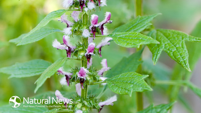 Astragalus Root: Halts Aging, Cure Type 2 Diabetes And Repair Our DNA
