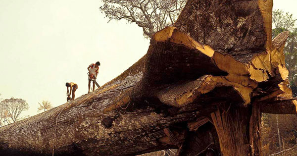Loggers Accidentally Cut Down World's Oldest Tree in Amazon Forest