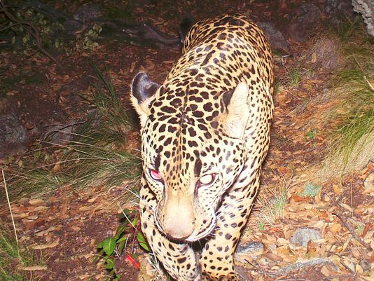Center of Biological Diversity Files Notice of Intent to Sue to Protect El Jefe's Territory