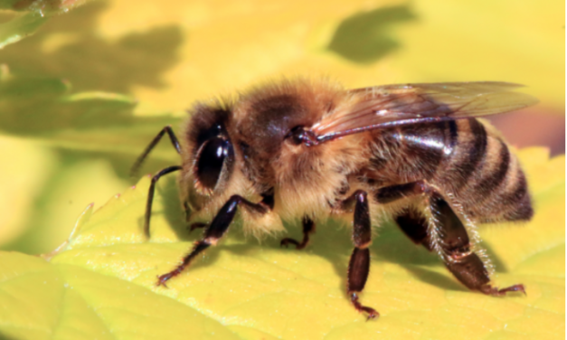 Another species of bee added to the endangered list, almost wiped out by Monsanto