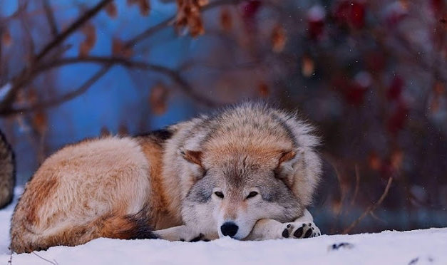 Minnesota, Wisconsin and Wyoming have decided to eradicate wolves