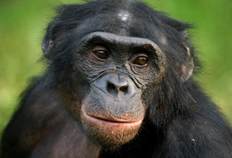 Yes, they're conscious: Chimpanzee learns how to play paper, scissors, rock with a human child