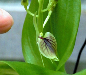 Rare orchid from Ogasawaras seen for first time since 1938