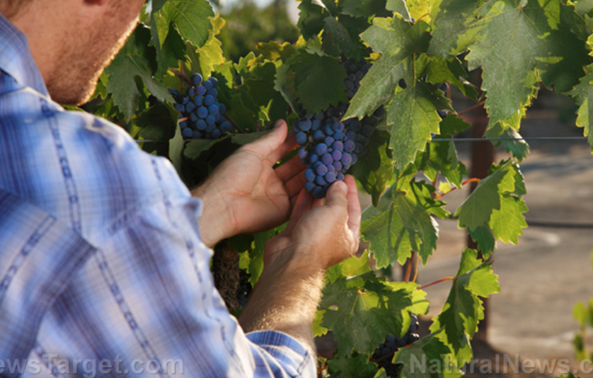 Grape growers can increase the nutrients in their wine by removing leaves early, though it does decrease crop size