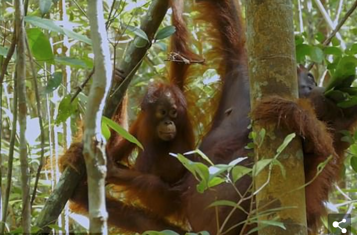 Orangutans 'may know medicines unknown to humans': Great apes are filmed chewing plants to make 'ointment' that eases aching limbs in a world first