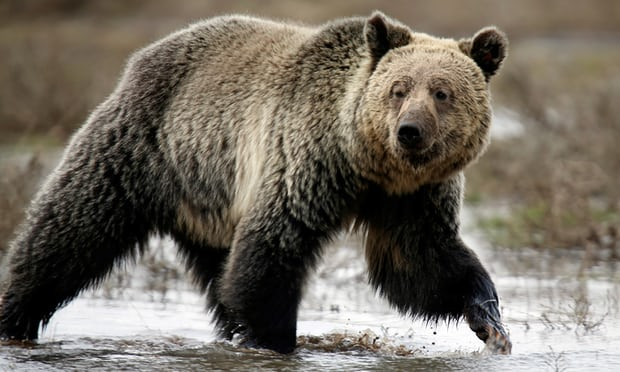 Yellowstone grizzlies can be hunted after endangered protections lifted