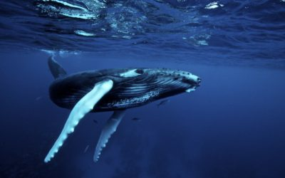 Humpback Whale Communication and the Search for Alien Intelligence