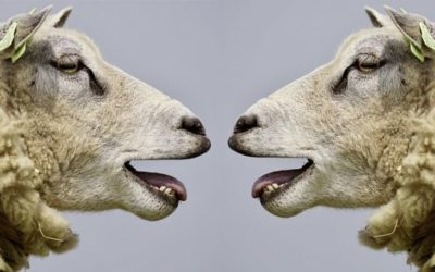 Scientists May Have Created Human-Sheep Hybrids