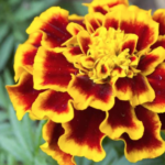 FARMERS ARE NOW USING FLOWERS TO HELP REDUCE PESTS INSTEAD OF HARMFUL PESTICIDES