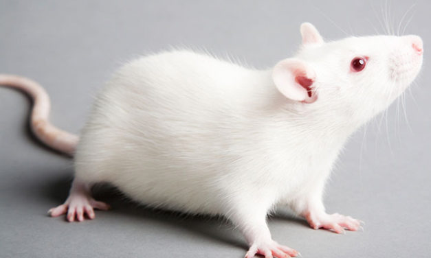 Mind-Controlled Mice Navigate Mazes, No Longer Crave Food