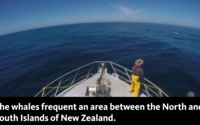 New population of genetically distinct blue whales discovered in New Zealand