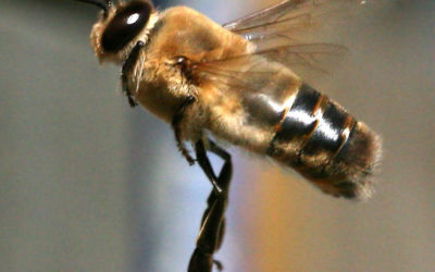 With Bees Scarce, A Drone Pollinates A New York Apple Orchard