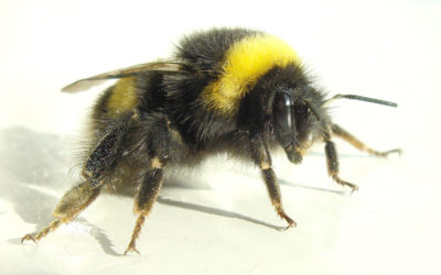 Irish Bumblebee Populations Hit Record 6-Year Low, Threatened With Extinction
