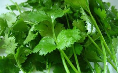 Cilantro helps detox heavy metals