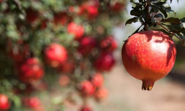 Why Eating Pomegranate Could Save Your Life