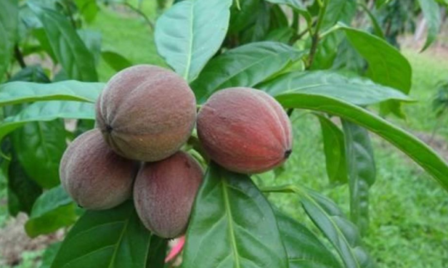 Breaking: Scientists Discover Cancer-Fighting Berry that Only Grows in Far North Queensland