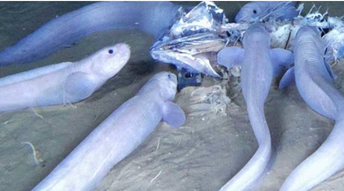 Alien-Like Snailfish Discovered at Bottom of Pacific Ocean [w/VIDEO]