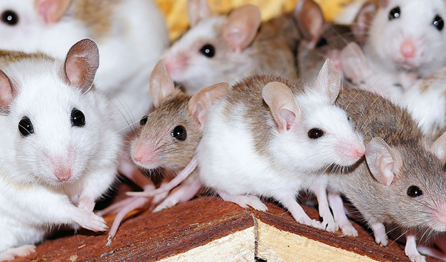 Chinese Researchers Create Healthy Mice With 2 Biological Mothers And No Father