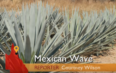 Mexican Wave: The sugar company growing agave for green energy [VIDEO]