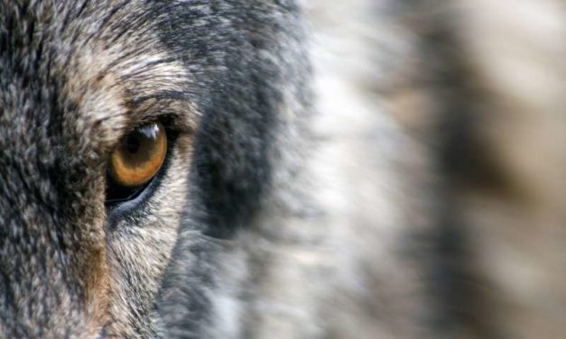 NPS to reestablish wolves on Isle Royale