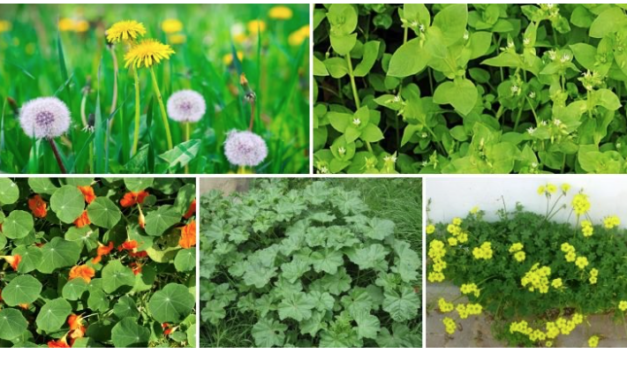 Weeds Growing in Poor Urban Areas More Nutritious Than Grocery Store Produce