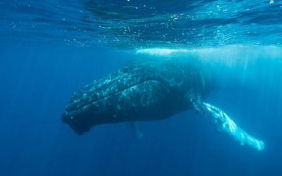 An Unrelenting Hum Is Silencing Whales in Japan