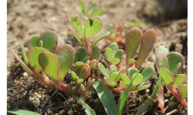 Powerful and Proliferative: the Formidable Purslane