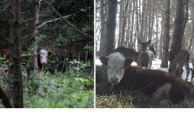 After Escaping Slaughter, Baby Cow is Adopted by Deer Family in the Woods