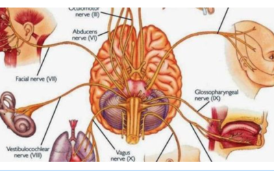 The vagus nerve – How inflammation can be controlled by the brain