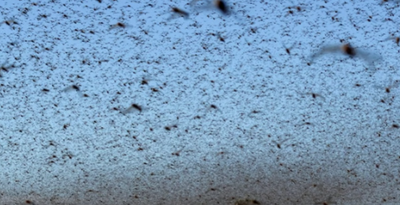 Red Sea Countries Braced for Massive Plague of Locusts [VIDEO]