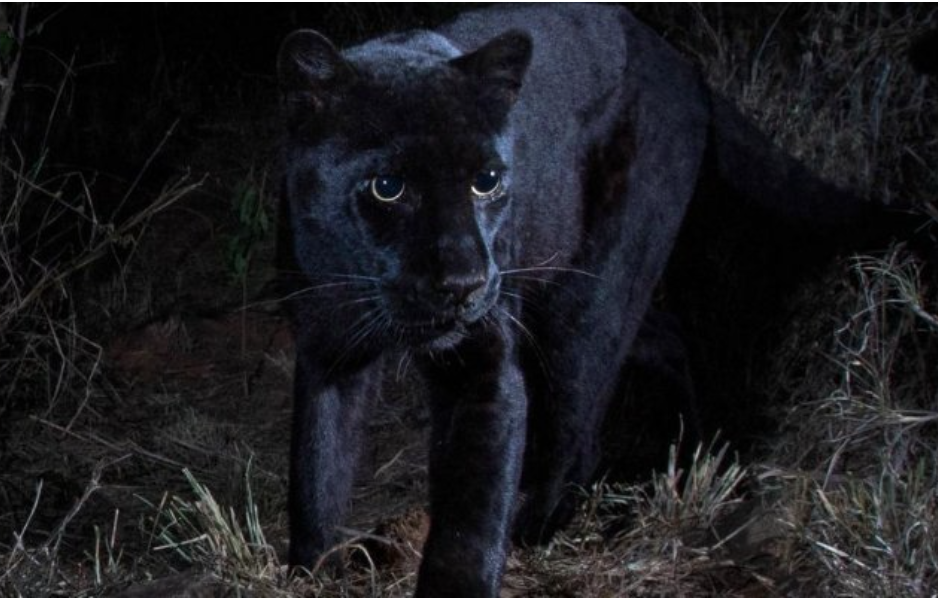 Super Rare Black Leopard Photographed in Africa for First Time in 100 Years
