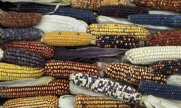 """The world's oldest varieties of maize has been """"contaminated"""" by genetically modified organisms in Mexico"""