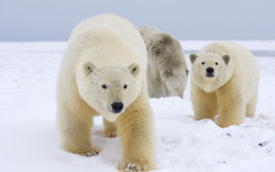 State of Emergency Declared In Russia Due to 'Polar Bear Invasion' [VIDEO]