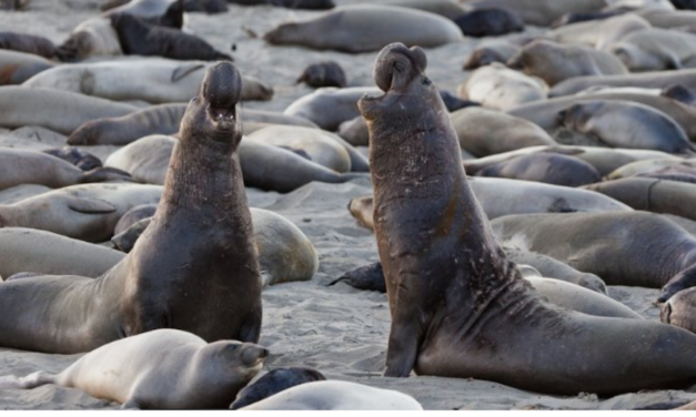 Elephant Seals Took Over This California Beach During the US Shutdown and Won't Give It Back