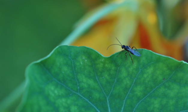 GMO insects could soon convert into the world's deadliest weapons