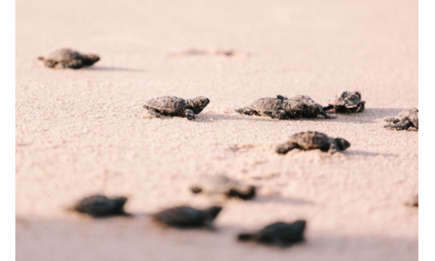 After The Largest Beach Clean Up In History Baby Turtles Returned To The Beaches Of Mumbai