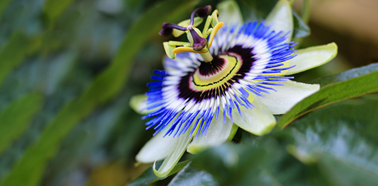 Discover passion flower's benefits and uses