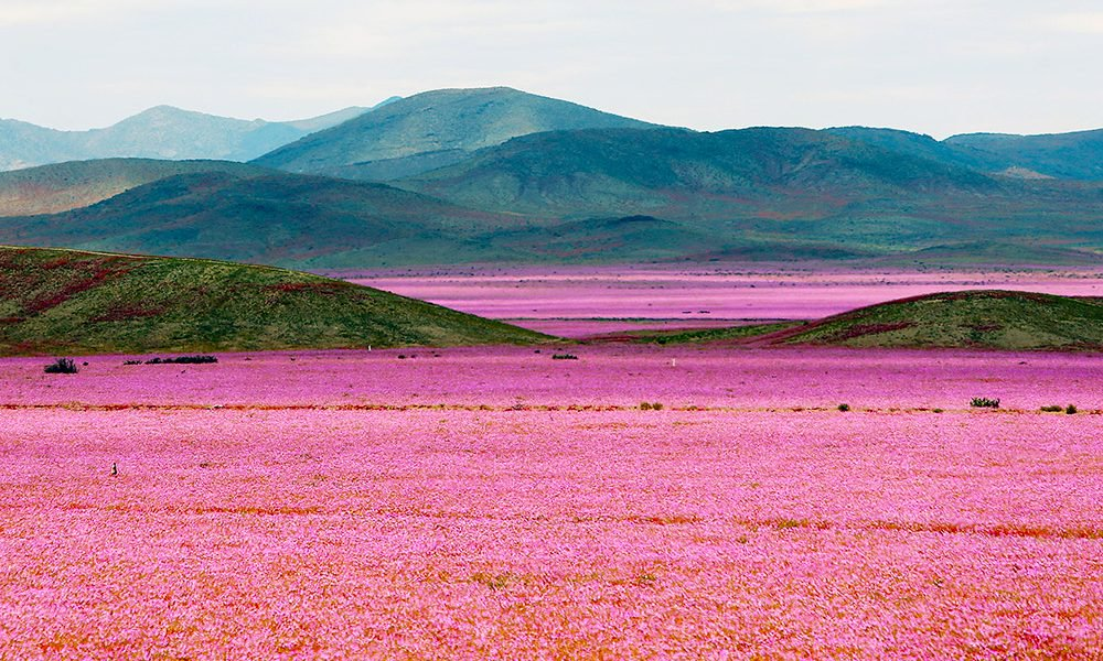 "Intense and unexpected rain in the north of Chile has brought another ""desierto florio,"" or ""desert flowering,"" to parts of the Atacama, the driest place on Earth"