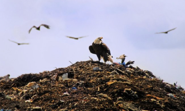 Bald Eagles Are Stealing Garbage From a Seattle Landfill and Putting it in the Suburbs