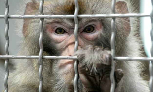 Chinese scientists implant human brain genes into monkeys to make them SMARTER
